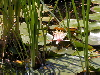 Cattails and Waterlillies